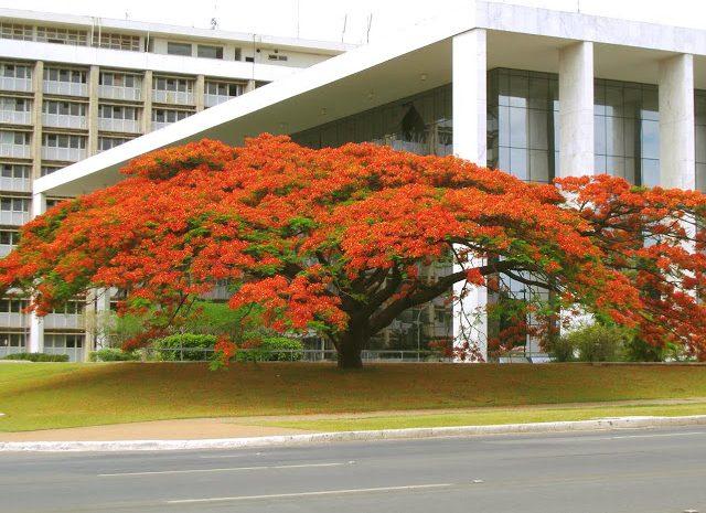 'Árvore símbolo' do TJ-DF, Flamboyant cai após mais de 50 anos